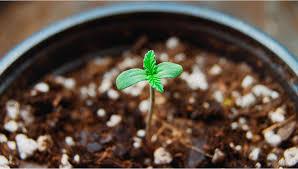 Proper Marijuana Buds Care Common Grower Mistakes